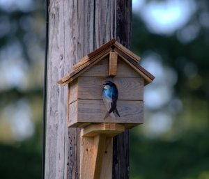 Blue swallow that had wasted no time making himself at home in the new birdhouse.