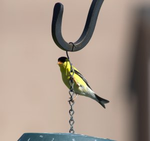 Goldfinch just hanging around the bird feeder.