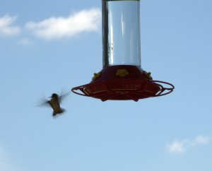 Trying to work on shutter speed so I could get a still hummingbird.
